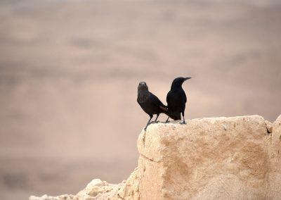 Fester Bestandteil von Masada - eine Art Bergdolen